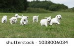Stock photo beautiful group of golden retriever puppies running on the grass 1038006034