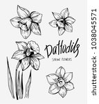 Daffodils Hand Drawn Sketch....