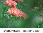 fresh beautiful pink poppies on ... | Shutterstock . vector #1038047539