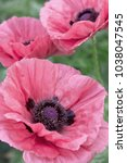 fresh beautiful pink poppies on ... | Shutterstock . vector #1038047545