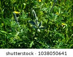 closed lupine flower | Shutterstock . vector #1038050641