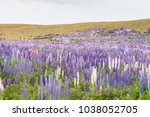 new zealand lupin flower field... | Shutterstock . vector #1038052705