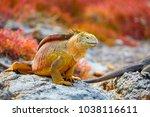 galapagos land iguana  gal... | Shutterstock . vector #1038116611