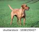 fox red labrador retriever | Shutterstock . vector #1038150427