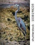 great blue heron   ardea...   Shutterstock . vector #1038198235
