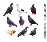Bird Pigeon Poses. Collection...