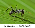 Small photo of Giant Amazon Ant (Gigantiops destructor)