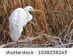 great egret  ardea alba  on...   Shutterstock . vector #1038258265
