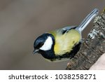 great tit  parus major  on a... | Shutterstock . vector #1038258271