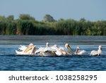 white pelicans  pelecanus... | Shutterstock . vector #1038258295