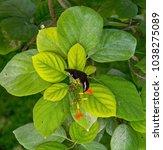 young kingbird enjoying a... | Shutterstock . vector #1038275089