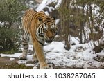 the siberian tiger  panthera... | Shutterstock . vector #1038287065