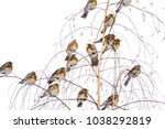 wild birds invasion in winter... | Shutterstock . vector #1038292819