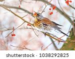 wild bird swallowing red berries | Shutterstock . vector #1038292825