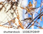 fieldfares eating sea buckthorn ... | Shutterstock . vector #1038292849