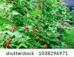 Ripe And Ripening Berries Of...