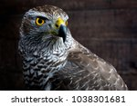 hawk close up. bird of prey... | Shutterstock . vector #1038301681