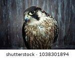peregrine falcon  duck hawk... | Shutterstock . vector #1038301894