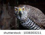 hawk close up. bird of prey... | Shutterstock . vector #1038303211
