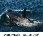 killer whales in the kenai... | Shutterstock . vector #1038312934