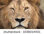 African Lion Free Roaming...