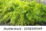 green fresh background  carrots ...   Shutterstock . vector #1038339349