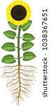 sunflower with ripe black head... | Shutterstock .eps vector #1038367651