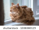 somali cat sunning in a window. | Shutterstock . vector #1038380125