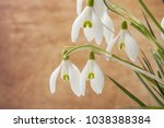 closeup of snowdrops on blurred ...   Shutterstock . vector #1038388384