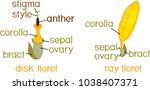 structure of ray zygomorphic... | Shutterstock .eps vector #1038407371