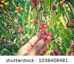 hand picking red coffee beans... | Shutterstock . vector #1038408481