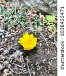 Small photo of Amur adonis of yellow flowers in spring