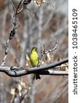 Small photo of american goldfinch perched in New Mexico