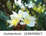 frangipani flowers in backyard... | Shutterstock . vector #1038498817