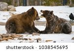 Small photo of Young Grizzly's in Yellowstone