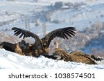 griffon vultures  gyps fulvus ... | Shutterstock . vector #1038574501