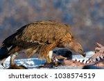 griffon vultures  gyps fulvus ... | Shutterstock . vector #1038574519