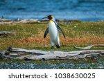 king penguin  aptenodytes... | Shutterstock . vector #1038630025