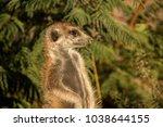cheeky meerkat in kgalagadi... | Shutterstock . vector #1038644155