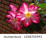 pink flower against the brick... | Shutterstock . vector #1038705991