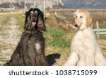 two afghan hounds. portrait.the ... | Shutterstock . vector #1038715099