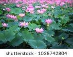 pink lotus  nelumbo nucifera ... | Shutterstock . vector #1038742804
