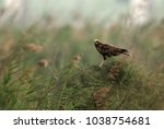 marsh harrier perched on bushes | Shutterstock . vector #1038754681