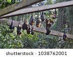 Small photo of Group of Bat flying fox, (Pteropus lylei or Pteropodidae) perched hanging on a palm tree in rainforest