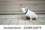 cute and friendly white french... | Shutterstock . vector #1038916879