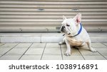 cute and friendly white french... | Shutterstock . vector #1038916891