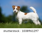 Purebred Jack Russel Terrier...