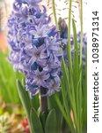 beautiful blue hyacinths...   Shutterstock . vector #1038971314