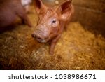 a small piglet in the farm.... | Shutterstock . vector #1038986671