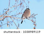 female bullfinch sitting on... | Shutterstock . vector #1038989119